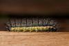 Oruga (Mary Torres E.) Tags: antioquia colombia gusano macrofotografía insecto macrophoto photography oruga envigado canoneos70d marytorres macro