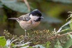 Coal Tit (Gareth Keevil) Tags: autumn bird birds coaltit garden gardenbird garethkeevil leeds nikon nikond500 telephoto tit uk westyorkshire yorkshire