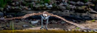 Osprey Coming In For Kill