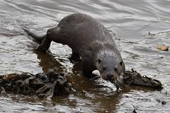 Otter. (stonefaction) Tags: otter guardbridge eden estuary fife scotland nature wildlife animals river