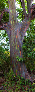 Tree Pano