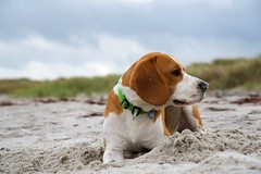 (Rockpott) Tags: sand hund beagle strand gras beach himmel tier animal haustier dof portrait tierportrait nikon nikond750 holiday funny nose beachlife color