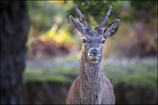 Juvenile Red Deer