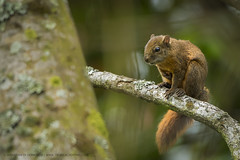 Red tailed squirrel (Sciurus granatensis) (sebastiandido) Tags: squirrel mammal colombia biodiversity nikon d500 200500 nikkor wildlife photography ardilla zipacon cundinamarca