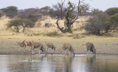 Livingstone's Eland , Trachelaphus oryx livingstonii,  drinking at Mogobe Pool , Botsolano reserve , _9360