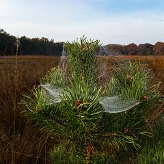 Spinsel ... (doevos) Tags: hogeveluwe npdhv spinneweb veluwe wandelfit hoenderloo gelderland netherlands nl