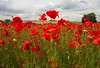 Poppy Fields Kent (Adam Swaine) Tags: poppies commonpoppy flora flowers darentvalley kent kentishlandscapes naturelovers nature red england english englishlandscapes countryside counties rural kentweald canon