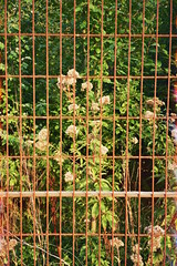 _15_00149 (Lee Sydney) Tags: france olympusmjuii kodakgold200 kodak 35mm 35mmfilm filmisnotdead filmphotography sydsense pointandshoot olympusfilmcamera travelling summer 2017 europe trip lille fence flower nice nature flowers plants