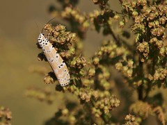 Bella Moth, Gisland Farm (Bill Bunn) Tags: bellamoth utetheisaornatrix falmouth maine