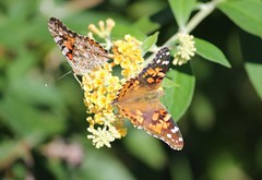 Painted Lady (Sam0hsong) Tags: butterfly paintedlady