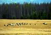 THE HAREM (Aspenbreeze) Tags: elk bullelk bull elkherd elkharem harem wildlife wildanimal animal rutseason rut coloradowildlife nature rural bevzuerlein aspenbreeze moonandbackphotography