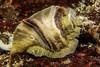 Leafy Hornmouth snail (Ceratastoma foliatum) (jonmcclintock) Tags: underwater sunshinecoast travel britishcolumbia canada adventure scuba diving strongwater
