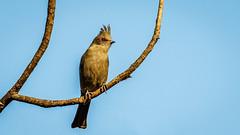 Phainopepla (f) (Bob Gunderson) Tags: phainopepla phainopeplanitens lakesolanocountypark birds solanocounty northerncalifornia