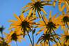 Sonnenhut / Rudbeckia / Echinacea (Maexel Fotografie) Tags: gelb sonnenhut rudbeckia echinaecea scheinsonnenhüte igelkopf korbblüter blume flower garden flora blüte bunt gardenflowers