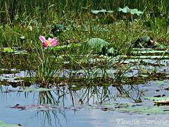 Sacred Lotus and Rushes (tinlight7) Tags: lotus sacredlotus river water wetland mekong vietnam wildflower pink taxonomy:kingdom=plantae plantae taxonomy:subkingdom=tracheophyta tracheophyta taxonomy:phylum=magnoliophyta magnoliophyta taxonomy:class=magnoliopsida magnoliopsida taxonomy:order=proteales proteales taxonomy:family=nelumbonaceae nelumbonaceae taxonomy:genus=nelumbo nelumbo taxonomy:species=nucifera taxonomy:binomial=nelumbonucifera nelumbonucifera ハス 蓮 荷花 flordeloto lotussacré taxonomy:common=sacredlotus taxonomy:common=ハス taxonomy:common=蓮 taxonomy:common=荷花 taxonomy:common=flordeloto taxonomy:common=lotussacré inaturalist:observation=8540293