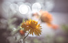 Wildflower (Dhina A) Tags: sony a7rii ilce7rm2 a7r2 lensbaby composer pro sweet 50 optic 50mm lensbabycomposerpro f25 bokeh art lens 2elements 1group manual focus emount creative photography blur wildflower wild flower