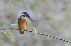 Guarda-rios / The common kingfisher / (Alcedo atthis) (Sérgio Guerreiro) Tags: guardarios commonkingfisher alcedoatthis