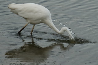 Partie de pêche, Grande Aigrette (Ardea alba)