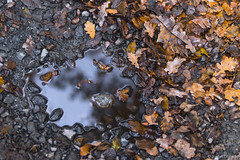 Autumn Drink (jordanlibioulle) Tags: 18 50 50mm autumn belgium blur cailloux camera cold d3200 exterior f18 figure flora form jordan leaf libioulle lightroom liquid mirror nature nikkor nikon orange ornament out outs outside photography plant pool puddle reflection reflex reflexion rock shape stone surface texture transparency transparent tree vegetal water wild
