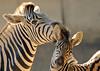Damara zebra Duisburg BB2A2476 (j.a.kok) Tags: zebra damarazebra equus herbivore animal afrika africa duisburg mammal zoogdier dier