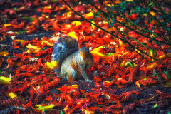 Hello Little One (Syed Ali Warda) Tags: explore hollandpark park autumn fall london squirell rodent flickr picture wildlife landscape colorful