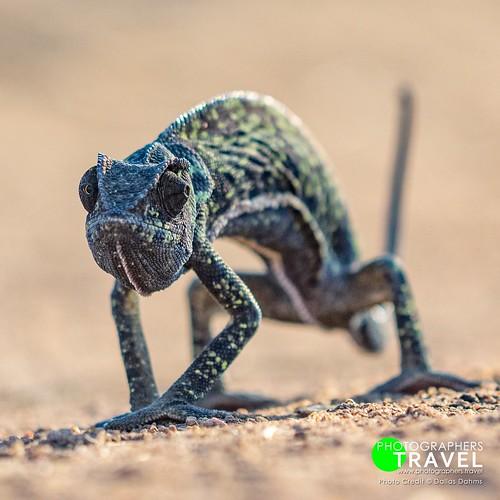 Chameleon - Sabi Sabi 2014