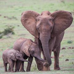Did You Know That Elephants Don't Get Cancer? (ImagesOfTheWild) Tags: addoelephant addoelephantnationalpark africa africanelephant big5 loxodontaafricana southafrica babies baby elephant mammal nature wild wildlife young
