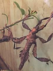Happy Halloween!!! (cliffordswoape) Tags: dc washington naturalhistory museum smithsonian usa australia walkingstick insect macleay'sspectre