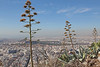 Century Plants (Roy Lowry) Tags: mountlycabettus athens centuryplant agaveamericana agave