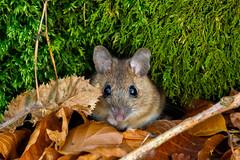 Maus (vindelikus) Tags: maus moss laub wildnature mouse leaves moos d750 konstein wald