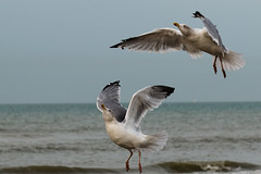Sky Ballet (Marie-Baeten) Tags: sea sky bird beach ocean water sand seagull seagulls gull gulls nature wildlife birds canon 70d f50 85mm 1800 iso100 dance ballet dances dancing motion action waves food wild amazing white blue grey feathers gray black animal animals photo belgium fly brown yellow november flanders coast upper boss wings flying soar soaring movement actionphoto photograph picture