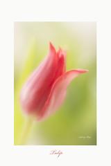 Tulip  Lensbaby Velvet 56 (Janny.K) Tags: velvet56 lensbaby lensbabyoncanon lensbabies lensbabymacro canonphotography flickrlensbabygroup lensbabyvelvet56 ilovemylensbaby lensbabyinnederland ngc artgrowninnature lensbabysartworks tulip naturalbeautyphotos sarasgarden simplybrilliant christabellesflowersgroup