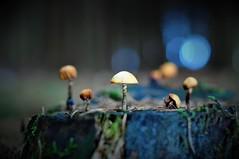 Small things (Bastian_Schmidt) Tags: mushroom mushrooms pilz pilze macro makro nikon d610 nikkor 50 mm 18 forest wald bokeh kunst art natur nature