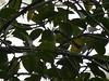 _1290066 social flycatcher (1) (archaeologist_d) Tags: honduras birdwatching haciendasanlucas socialflycatcher
