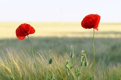 Wish you were here (Walter Horstmann-Cholibois) Tags: wish you were here mohn mohnblume poppy flowers blumen tamron sp 90mm 28 di nikon d800