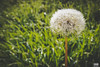 Blowball (Van Esch Design (VED)) Tags: grass green blowball dandelion dewdrops drops nature flower
