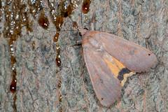 Large Yellow Underwing - Noctua pronuba (mattbpics) Tags: largeyellowunderwing noctuapronuba insect moth lepidoptera canon 70d 100 100mm nature wildlife animal fauna macro ef100mmf28lmacroisusm