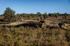 Lüneburger Heide (michael_hamburg69) Tags: lüneburgerheide niederhaverbeck bispingen germany deutschland heide heath heather heathland heideland wilsederberg