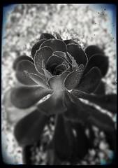 Aeonium en Noir et Blanc (YAZMDG (16,000 images)) Tags: aeonium succulent nature plant noiretblanc mono monochrome monoesque monochromatic blackandwhite