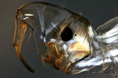 Chaoboridae larva (mr.sansibar) Tags: diptera chaoboridae phantommidge glassworm planapo pondlife heliconfocus focusstacking olympusbh2 photomicrography microscopy polarizedlight insect larva