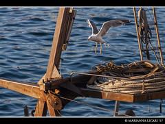 Gabbiani / Seagulls (via_parata) Tags: ponza isola island gabbiano seagull seagulls gabbiani volo fly lazio italia mare sea fishing boat peschereccio animali animals