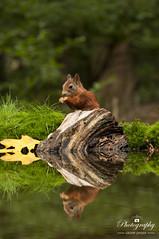 Cute duo (gelein.zaamslag) Tags: holland thenetherlands nederland zeeland zeeuwsvlaanderen clinge boshut bos water reflection reflectie réflexion squirrel eekhoorn autumn herfst geleinjansen nikon nikond5000 wood forest