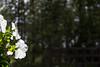 Flowers (Infomastern) Tags: andersö archipelago blomma flower forest minimalsim skog skärgård woods åland
