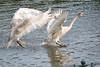 Rivalry (Caulker) Tags: cygnets pond aberford park learningtofly 16102017