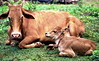 Proud Mom and her baby (gerard eder) Tags: world travel reise viajes asia southasia srilanka animals cow kühe vacas tiere animales landscape landschaft landwirtschaft agricultura agriculture natur nature naturaleza outdoor street streetlife