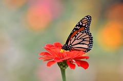 Monarch (Bill Badgett) Tags: bluegrassstate monarch butterfly bokeh flower nectar bullittcounty bernheimforest bernheimresearchforest bernheim colorfest nikon d810 70200 f40 color pastel fall red soft fragile october sundayafternoon warm