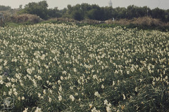 Narcissus field, St Agnes. Too late for market or for seed. April 1973