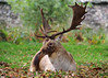 Fallow Deer Buck BP 26th Oct 2017 (Nigel B2010) Tags: deer fallow buck bradgate park october leicestershire uk autumn wildlife nature grass green brown olympus panasonic