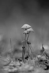 quelques champignons (mars-chri) Tags: champignons prairie noiretblanc forêt valdoise fabuleuse