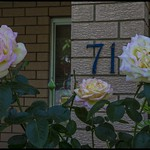Rose Rose I loved you-1= thumbnail